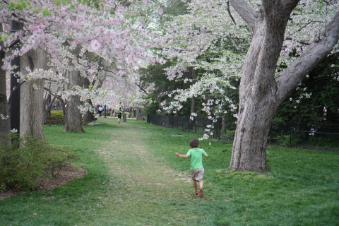 Running Through the Cherry Blossoms